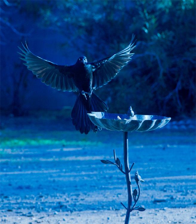bluegrackle