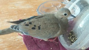 mourning-dove-update